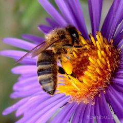 asters-franbulle-2.jpg