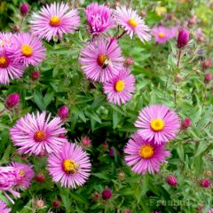 asters-franbulle-3.jpg